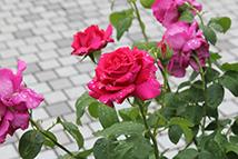 岐阜の米通販「農家のお米.com」のバラの画像