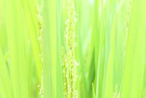 岐阜の米通販「農家のお米.com」の稲の花の画像