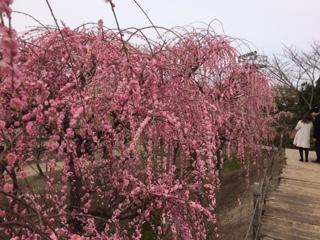 農家のお米.comしだれ梅の画像