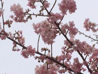 農家のお米.comの河津桜の画像