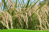 岐阜の米通販「農家のお米.com」のハツシモ画像