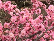 農家のお米.comの梅の花の写真