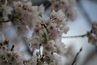 農家のお米.comの淡墨桜の写真3