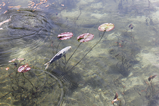 農家のお米.comのモネの池の写真白黒鯉