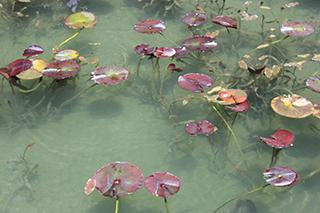 農家のお米.comのモネの池の写真2