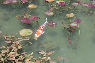 農家のお米.comのモネの池の写真1