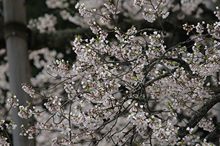 農家のお米.comの淡墨桜の写真2