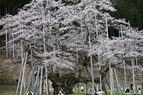 農家のお米.comの淡墨桜の写真