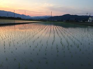 農家のお米.comの田植え品種はハツシモ