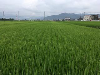 農家のお米.com8月28日ハツシモ-1