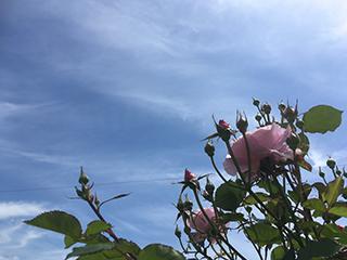 農家のお米.comのバラの写真